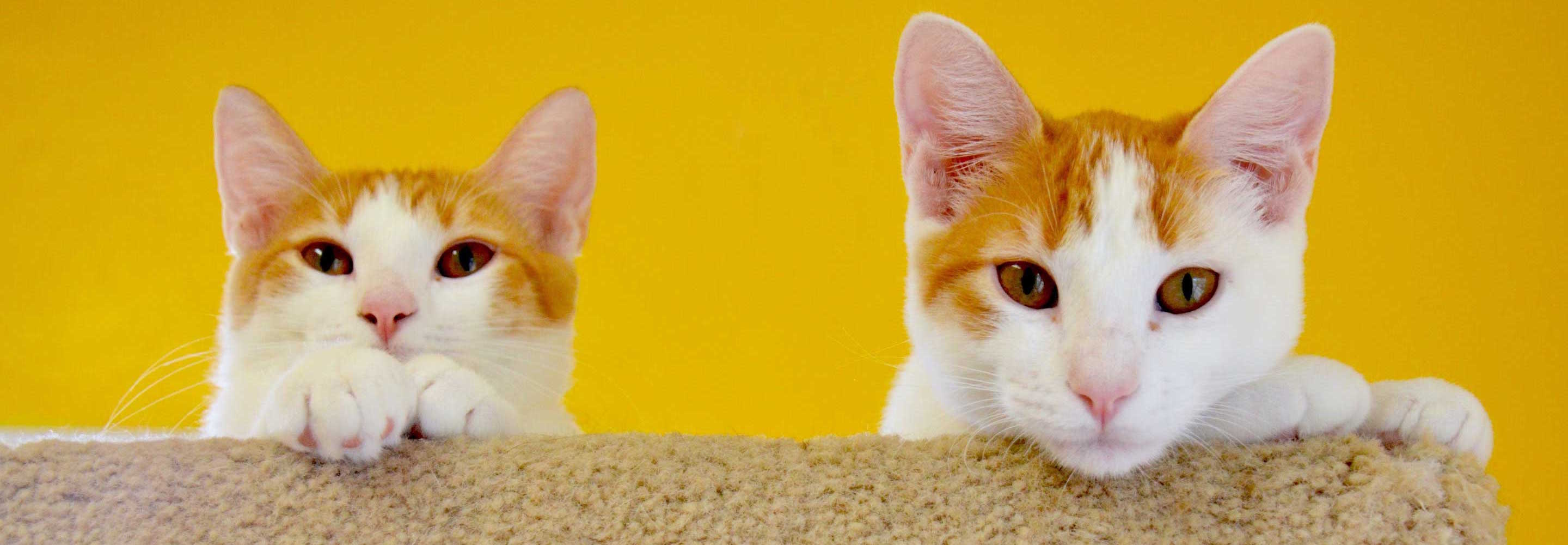 Billboard Cats With Yellow Background